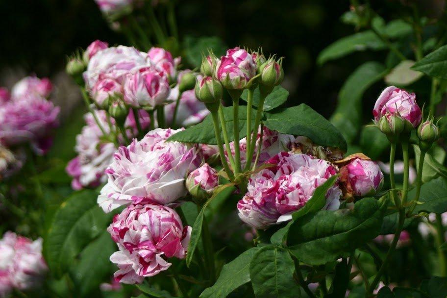Rosa-Variegata-di-Bologna-2