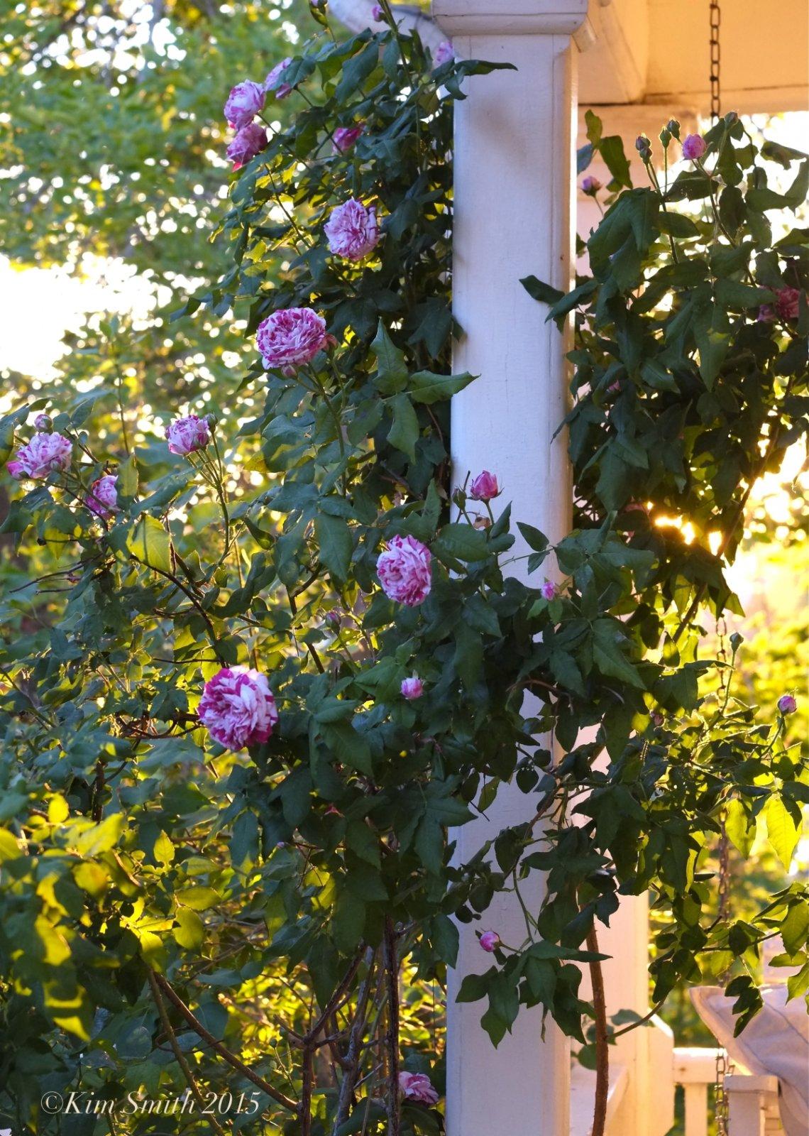 Rosa-Variegata-di-Bologna-4