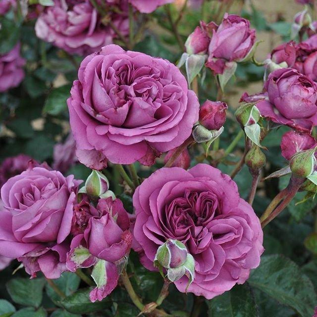 Роза флорибунда «Плам Перфект» (Rose floribunda 'Plum Perfect')