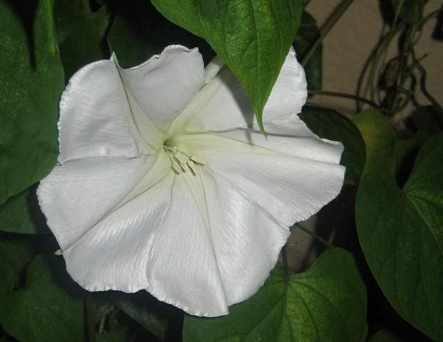 Ипомея белая, или Ипомея лунноцветущая. (Ipomoea Alba)