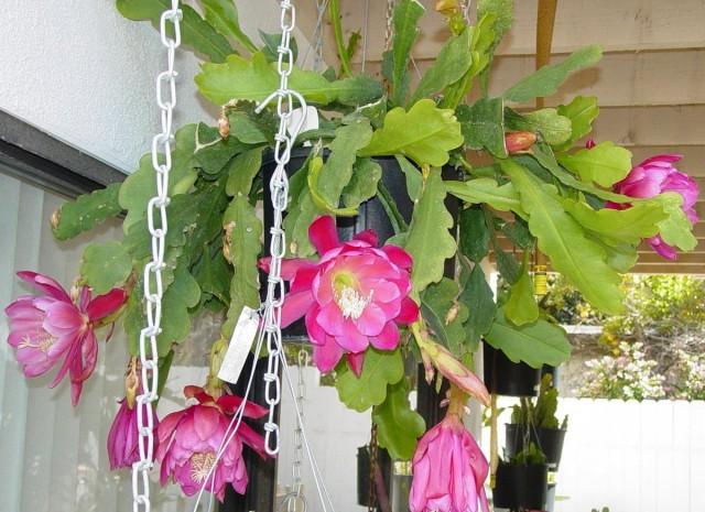 Эпифиллюм 'Meadow Rose'