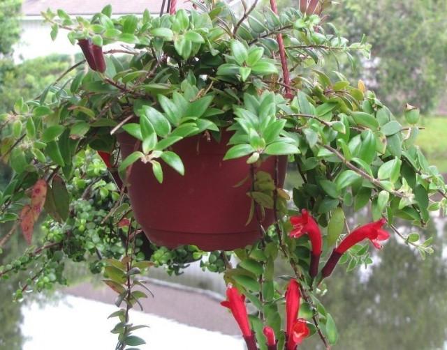 Эсхинантус укореняющийся (Aeschynanthus radicans)