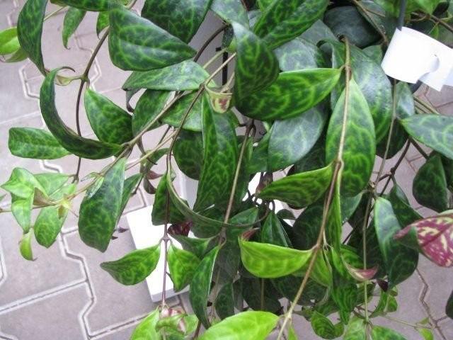 Эсхинантус длиностебельный (Aeschynanthus longicaulis)