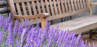 Лаванда узколистная из семян — подарите себе лавандовое поле!