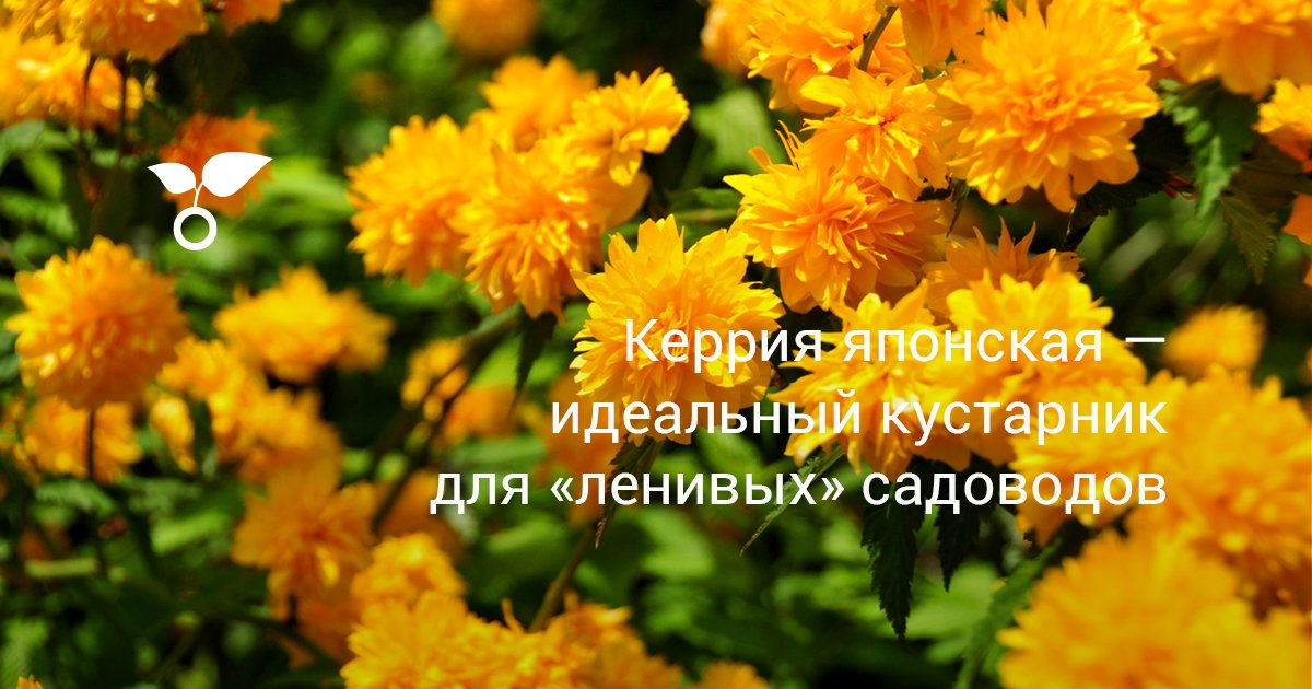 Растение керия: кустарник керия желтая описание, посадка и уход