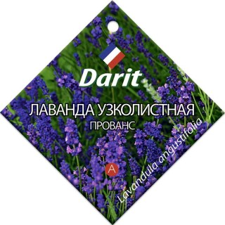 Лаванда узколистная «Прованс» (Дарит)