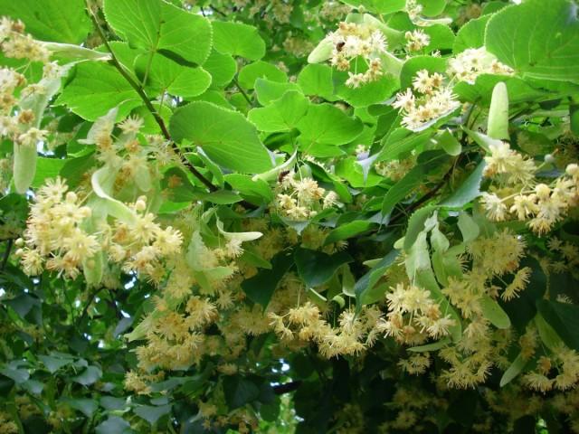 Вокруг дерева в период цветения собираются целые «армии» пчёл и… травников