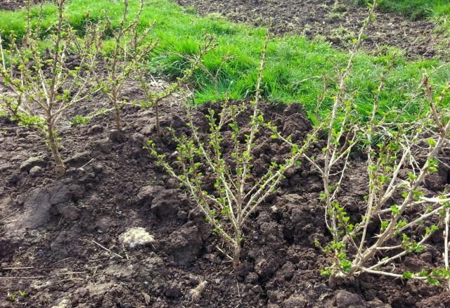 При посадке кустов крыжовника важно соблюдать дистанция между растениями