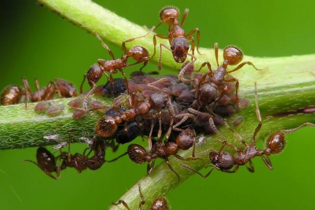 Ради сладкого нектара, выделяемого тлёй, муравьи опекают этого вредителя с завидной самоотверженностью