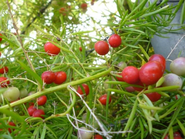 Плодоношение для аспарагусов - не такая уж редкость