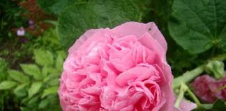 Замшевая шток-роза — королева цветников
