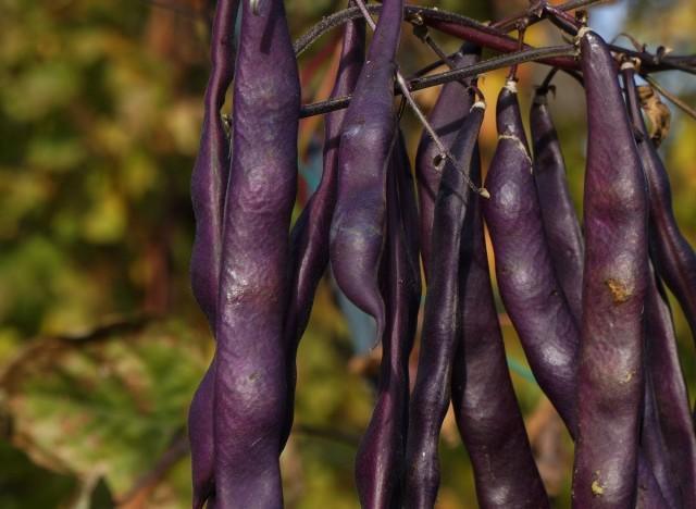 Спаржевая фасоль «Пурпурная малышка»