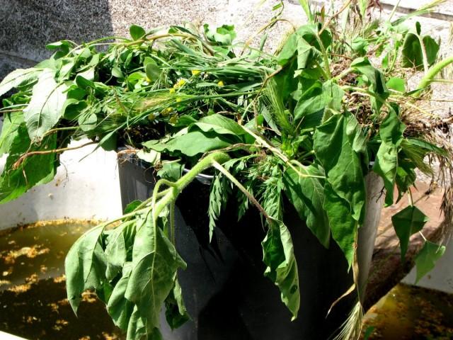 Зелень сорняков - это аккумулированные полезные вещества, взятые из земли, и в любой сорной траве их много