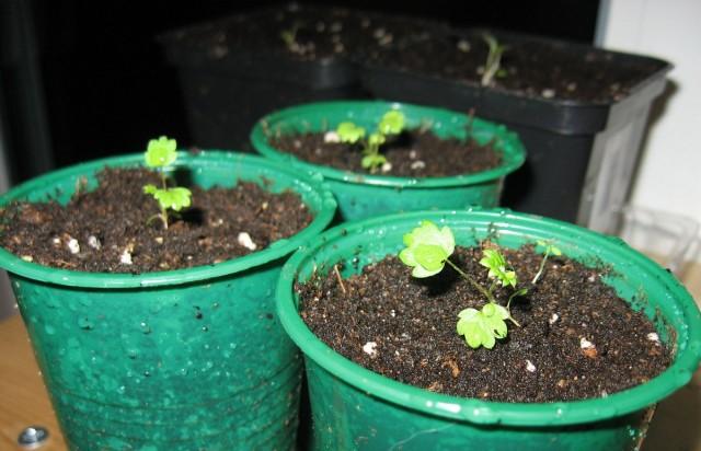 Первое время крошечные ростки земляники альпийской мало похожи на взрослое растение