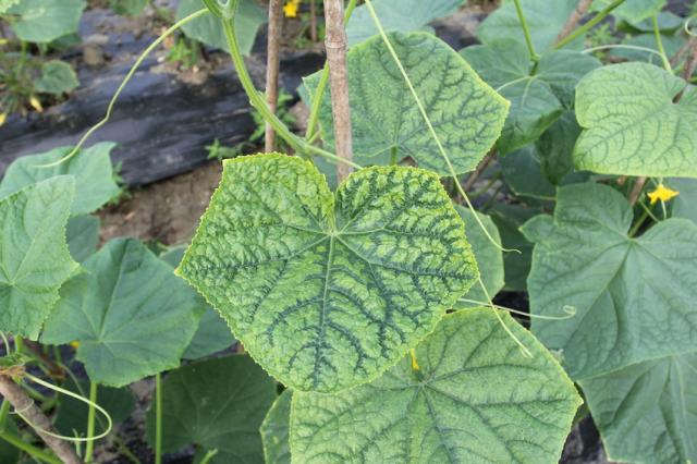 Нехватку отдельных элементов питания легко отследить по изменению формы и цвета листьев огурцов