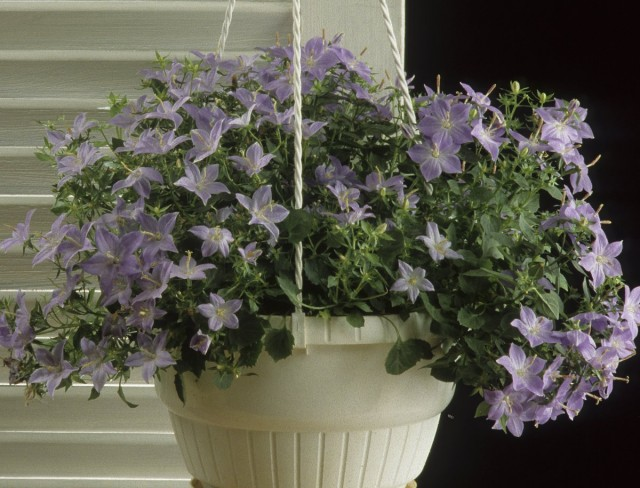Равнолистные колокольчики – далеко не простые растения