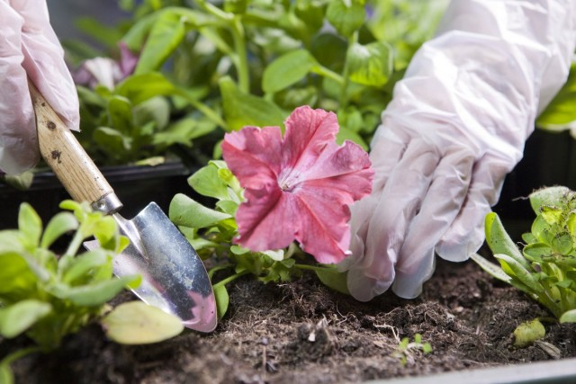 Чтобы рассада петуний была крепкой и здоровой, важно не затягивать с высадкой сеянцев на постоянное место