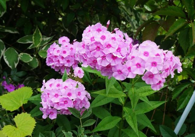 Одно из наиважнейших достоинств флоксов - длительный период цветения