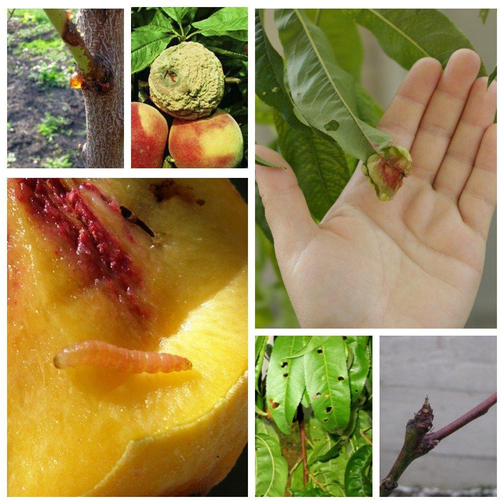 Болезни и вредители персика