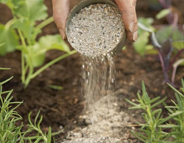 Золой хорошо удобрять растения на протяжении всей вегетации, просто рассыпая её возле растений