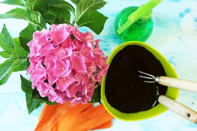 Гортензии — одни из комнатных растений, крайне чувствительных к реакции почвы и ее качеству