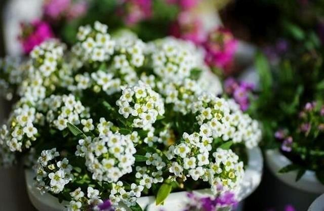 Алиссум - одно из самых простых в размножении растений