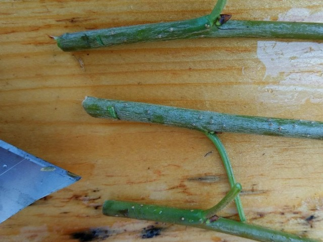 На нижней части черенка, где планируются корни, желательно сделать пару-тройку царапин на коре