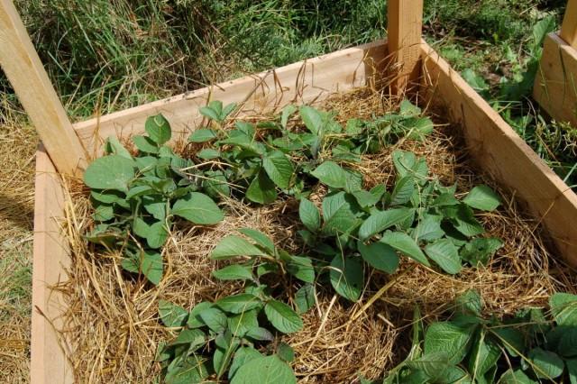 Чтобы картофель второй посадки быстрее рос, его лучше посадить в высокие теплые грядки