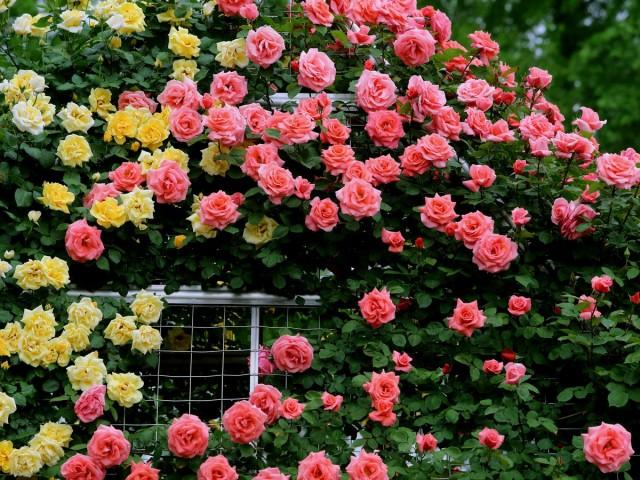 Размножение роз окулировкой — все, что нужно знать начинающим цветоводам