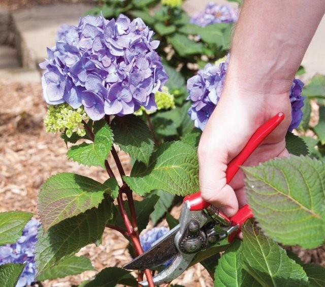 При срезке цветов крупнолистной гортензии нужно обрезать стебли очень скромно, чтобы не удалить много новых почек