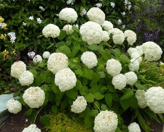 Гортензия древовидная может отлично расти на солнце, но ей потребуется более частый полив
