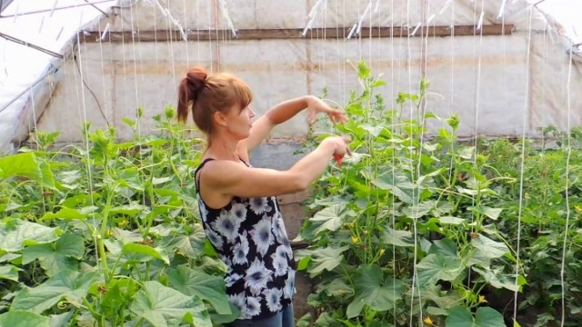 В процессе роста огурца постепенно приводим растение к одному главному стеблю, обрезая боковые побеги