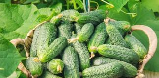 Прищипывание огурцов, или Как в разы увеличить урожай