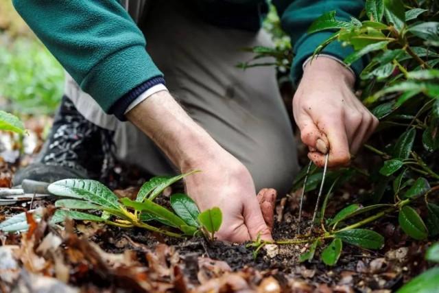 Размножение декоративных и плодовых культур отводками