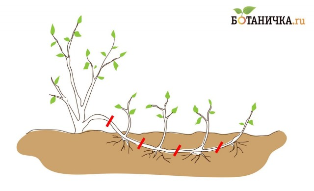 Рис. 2. Размножение горизонтальными отводками. По мере укоренения побег разгребают и разрезают в нескольких местах, отсаживают молодые растеньица