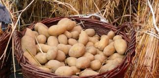 «Синклер» — сохранит посадочный картофель до весны