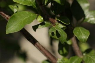 Повреждение сливы жуками-листогрызами
