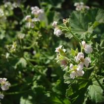 Пеларгония ароматнейшая (Pelargonium odoratissimum)
