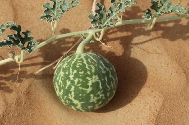 Дикий предок арбуза – колоцинт, растет в Африке