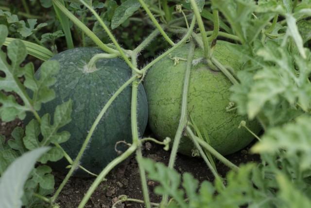 Срок созревания арбузов разнится в зависимости от сорта, но в целом составляет 32–45 дней