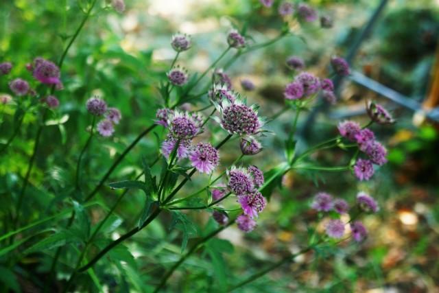 Темноокрашенные сорта замысловатых «зубчатых» цветков придадут саду немного мистики