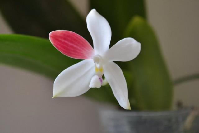 Фаленопсис тетраспис (Phalaenopsis tetraspis) C1