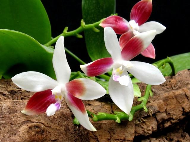 Фаленопсис тетраспис — самая нетребовательная орхидея
