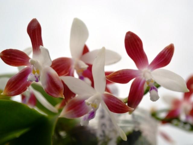 Во время цветения, и если выдается период покоя, фаленопсис тетраспис подкармливать нельзя