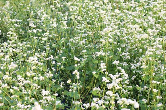 Задача сидератов — перевод и накопление веществ почвы в легкоусвояемую форму и разрыхление грунта