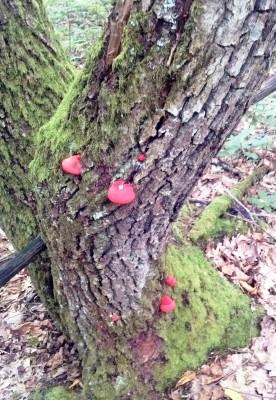 Малознакомые грибы. Печёночница (фистулина обыкновенная), или «грибная печень»