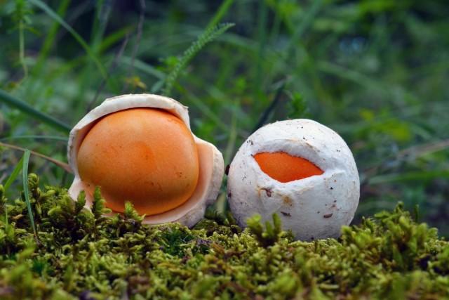 Малознакомые грибы, но вкусные и полезные грибы