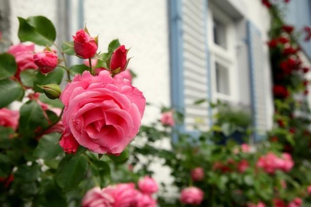 Почему мои розы никогда не болеют грибными заболеваниями