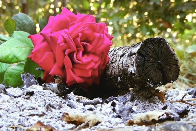 Нет более универсального, дешевого и доступного средства для роз, чем обычная древесная зола из печки или из мангала