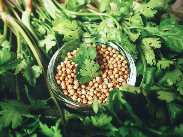 Полезный и незаменимый кориандр — как вырастить и использовать?